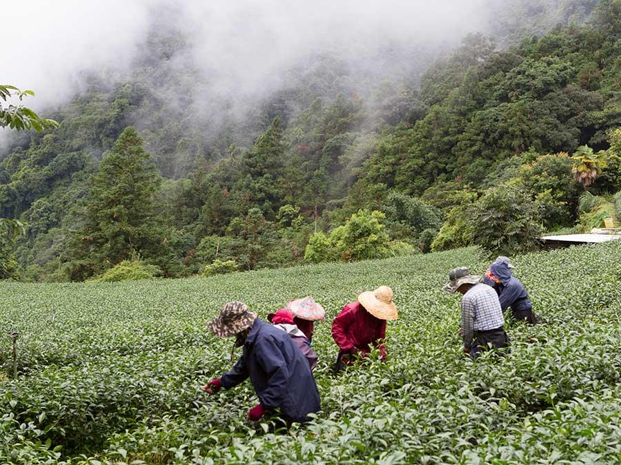 Lnocí se mlhovina nad čajovou plantáží Lyold Tea.